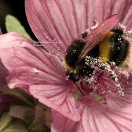 A bumble-bee covered in pollen
