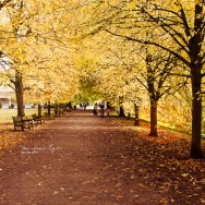 A promenade of golden lime trees in autumn.