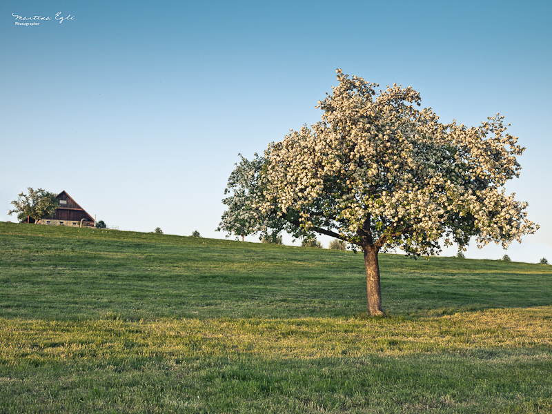 a tree in full bloom, a barn on the horizon.