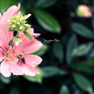 A bee collects pollen from a pink flower