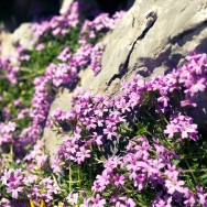 Small Alpine Flowers