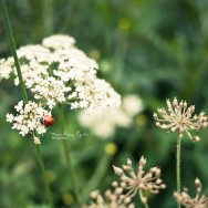 A ladybird on a yarrow.