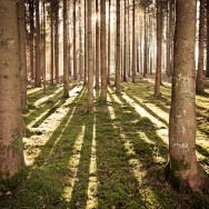 An array of trees standing like sentinels in a forest.