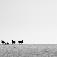 Silhouette of a flock of sheep on the top of a snowy hill in black and white.