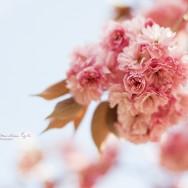 Pink apple Blosssom.
