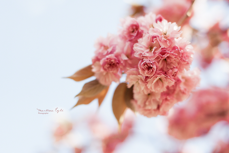 Pink apple Blosssom.