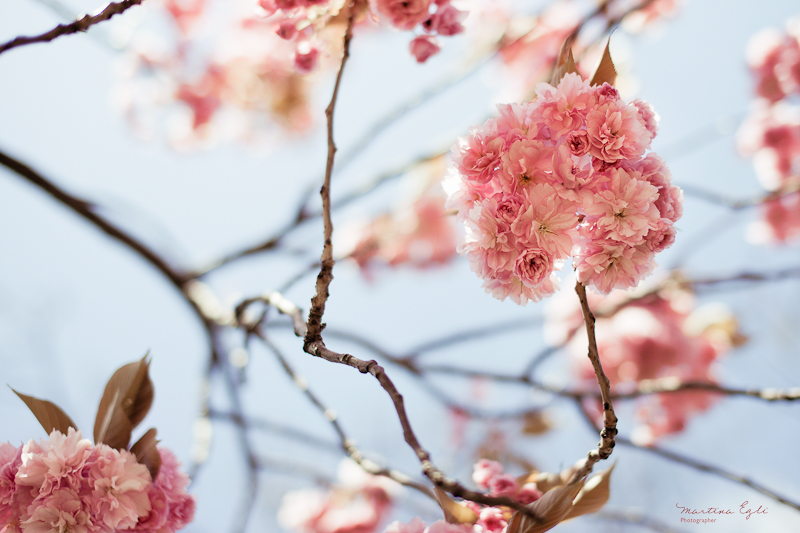 Pink apple blossom and delicate branches.