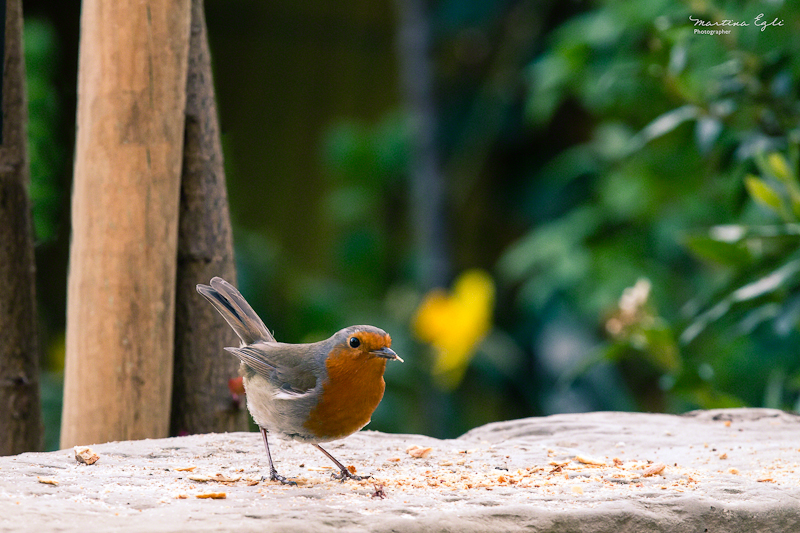 A Robin with some food in it&#039;s beak