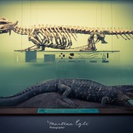 A crocodile and its skeleton diplayed in a case