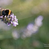 A bee sitting on a lavender flower.