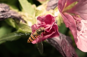 A hover-fly collects pollen from a flower.