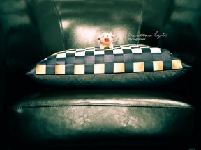 adorable Pig on a Cushion