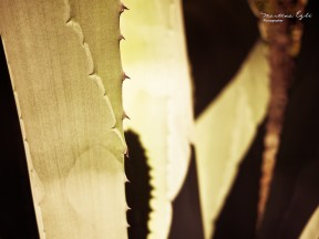 Detail shot of an Agave.
