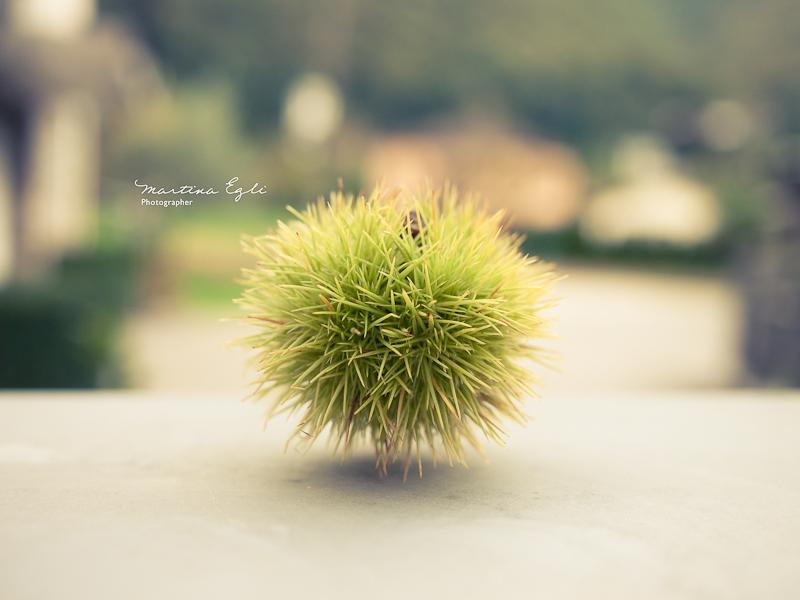 A single chestnut.