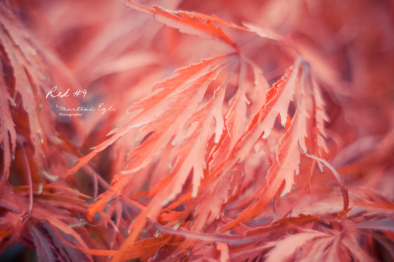Leaves of the Japanese red maple tree.