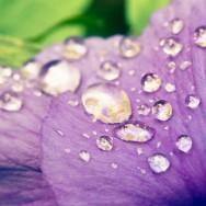 Rain drops on a petal.