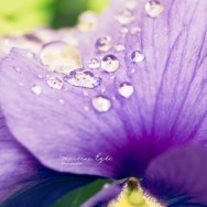 Rain drops on a flower.