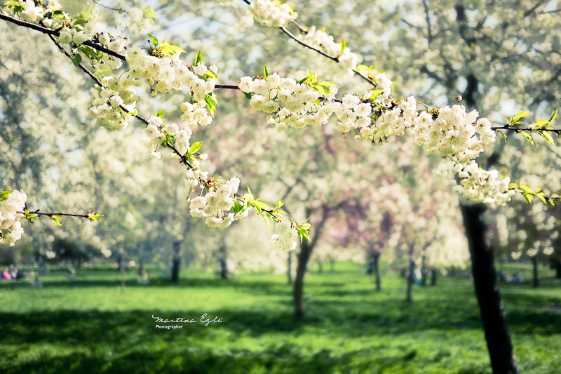 Blossoms on a tree in Regents Park, London.