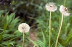 Dandelions in a green field.