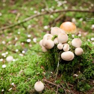 A cluster of round mushrooms on moos.