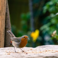 A Robin with some food in it's beak