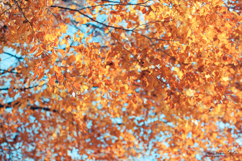 A canopy of orange beech leaves against a blue sky in autumn.